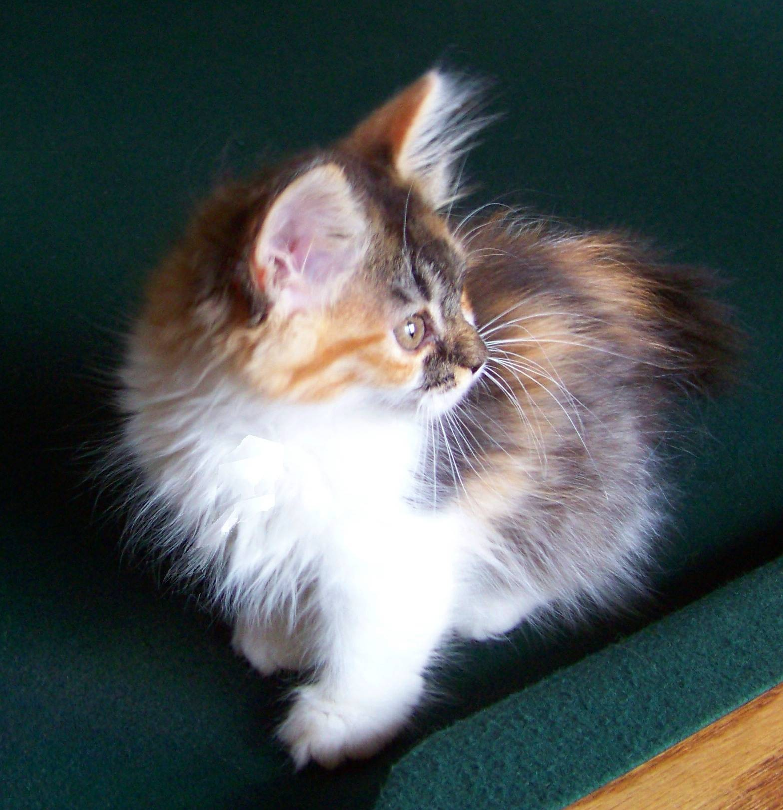 Mom Diva's beautiful Calico Ragdoll Munchkin longhair girl