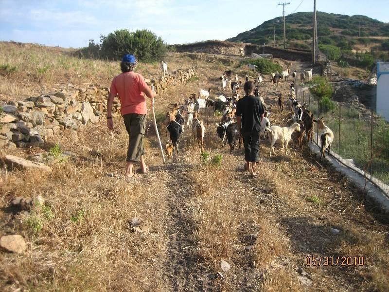 goats go to milking on Marathi