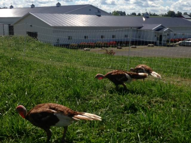 Bourbon Red Turkeys on pasture