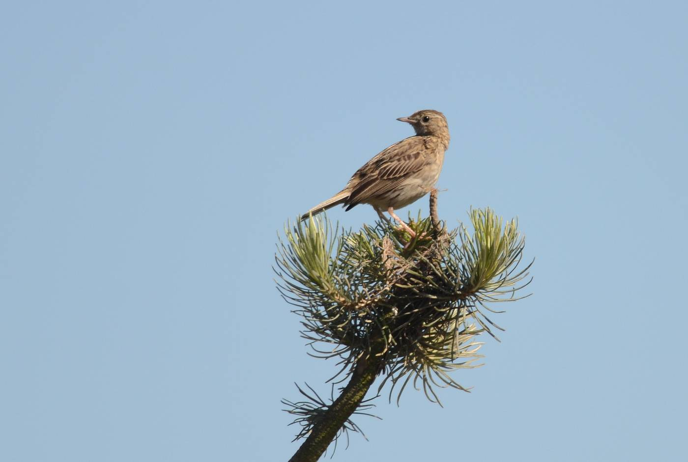 Hellmeyer's Pipit