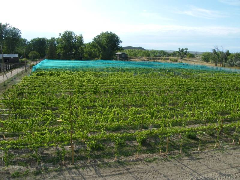 late 2009: Vineyard is finished....so far...