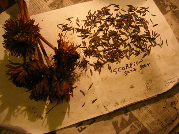 Seeds from Scorpion
