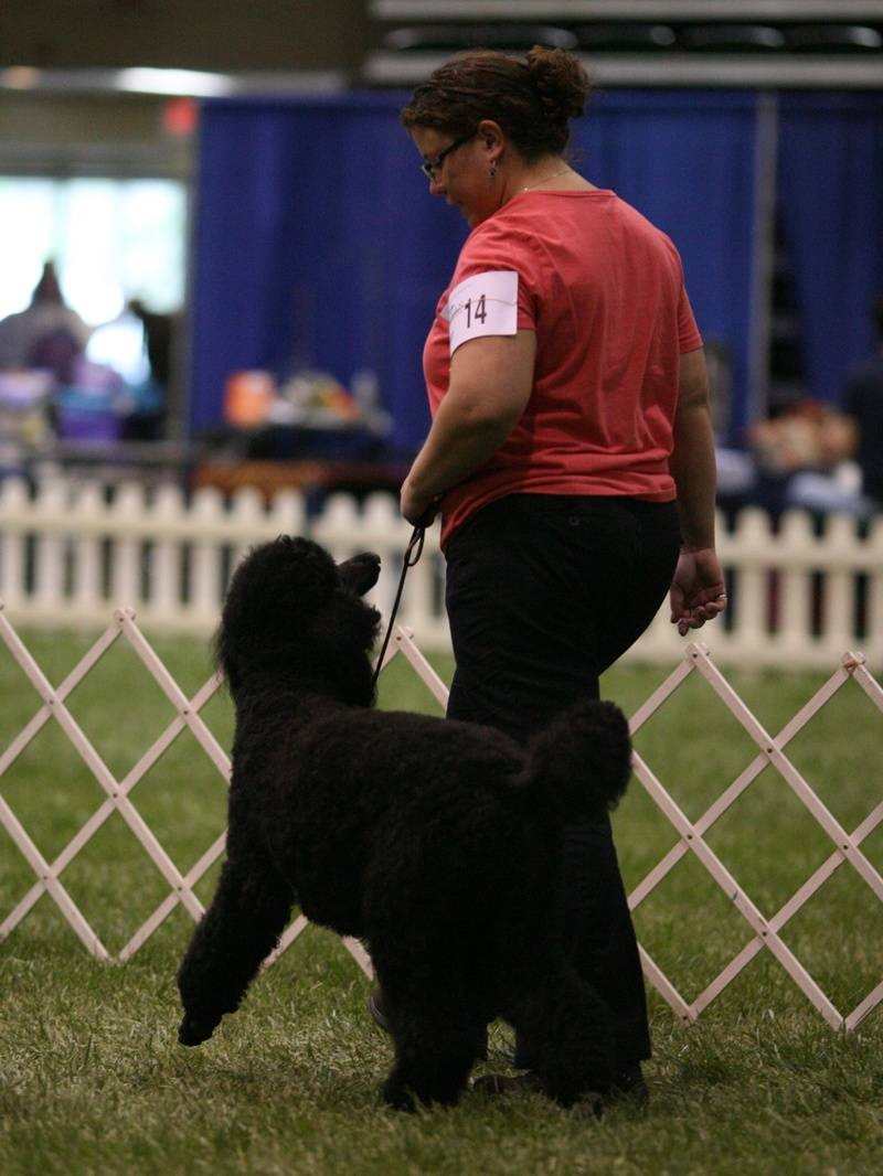 Pepper heeling in Rally Novice B at PCA National Specialty. 4/27/10.