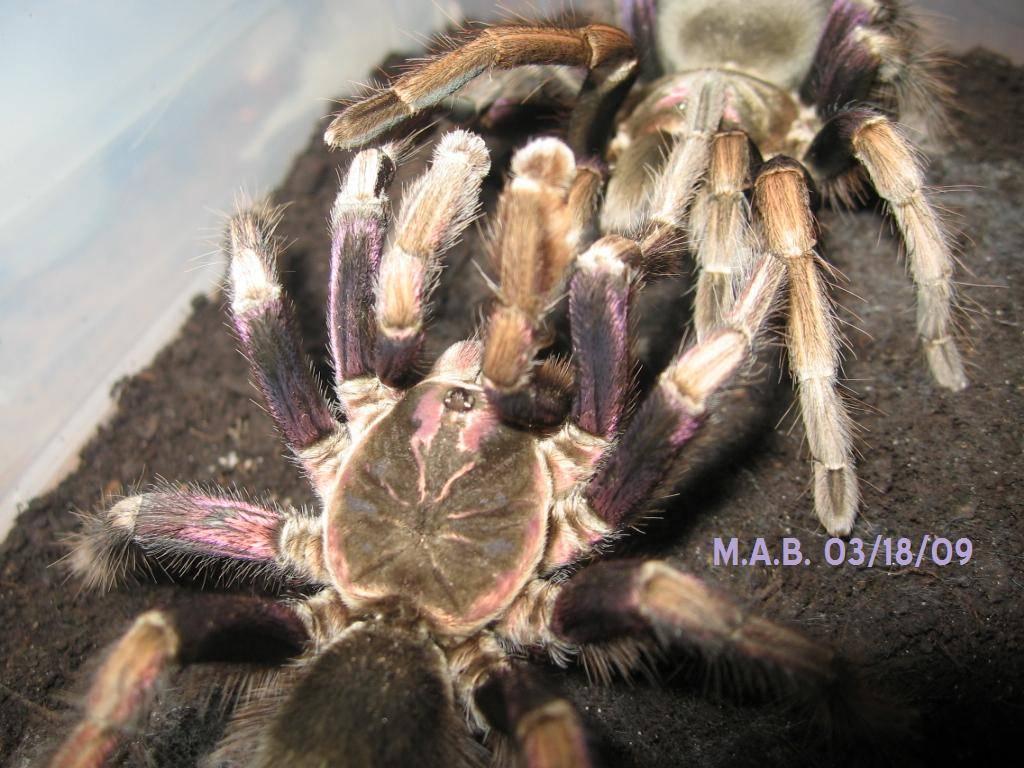 Pamphobeteus ultramarinus Breeding 3