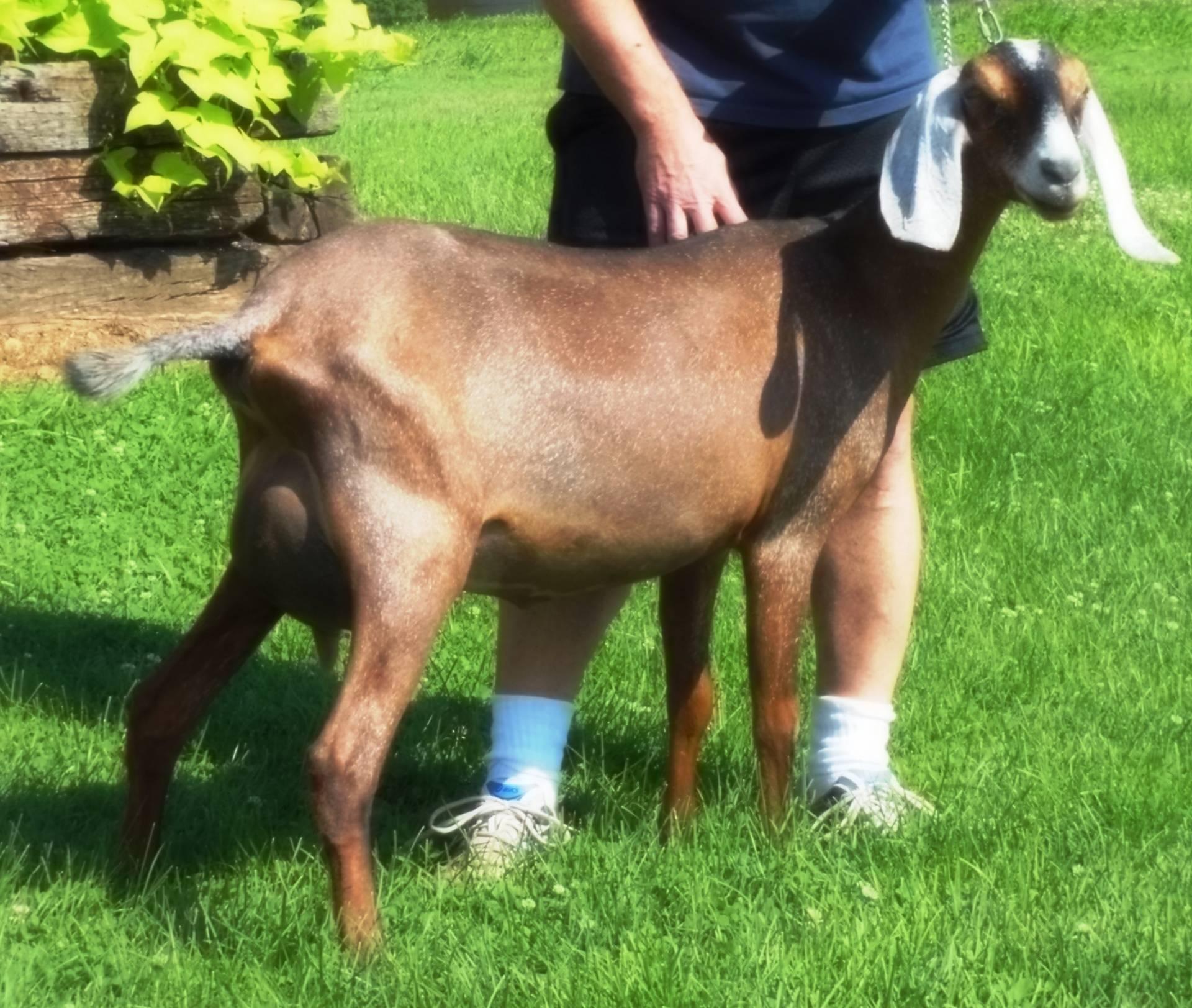 Foxwood Cynthia at 12 months