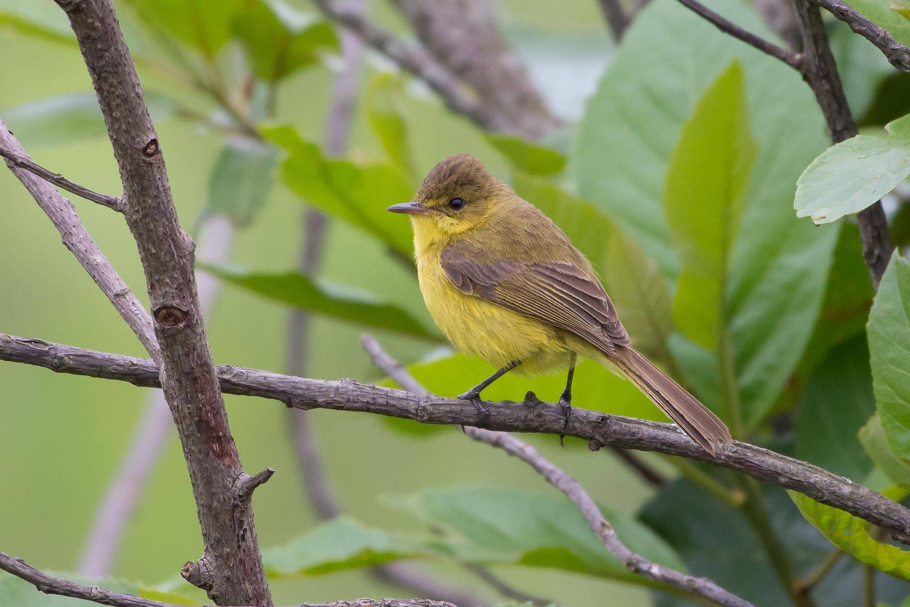 African Yellow-Warbler