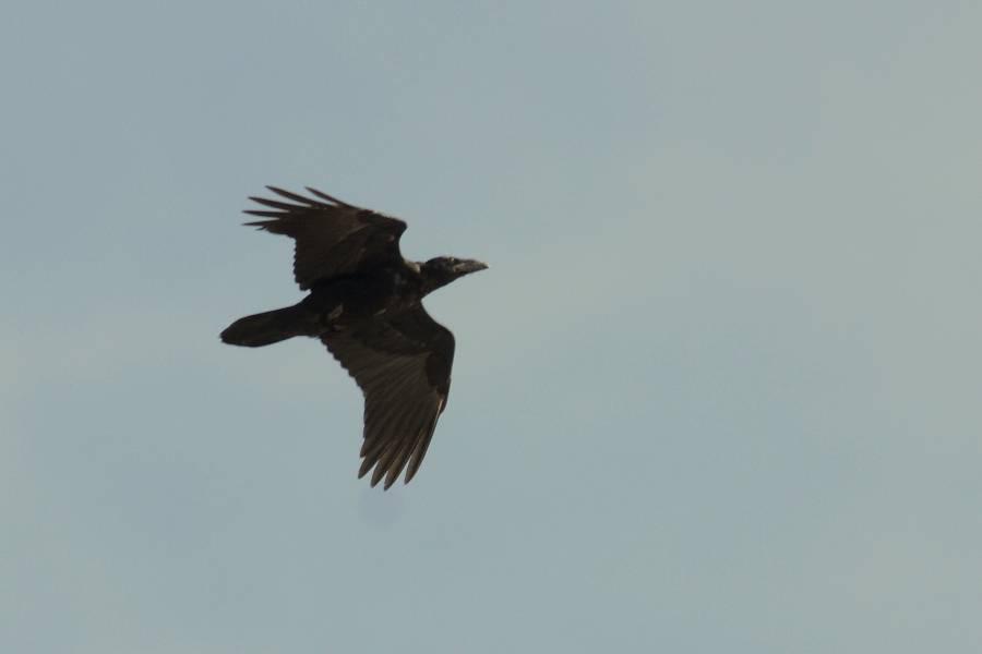 Raven    GRAND CORBEAU