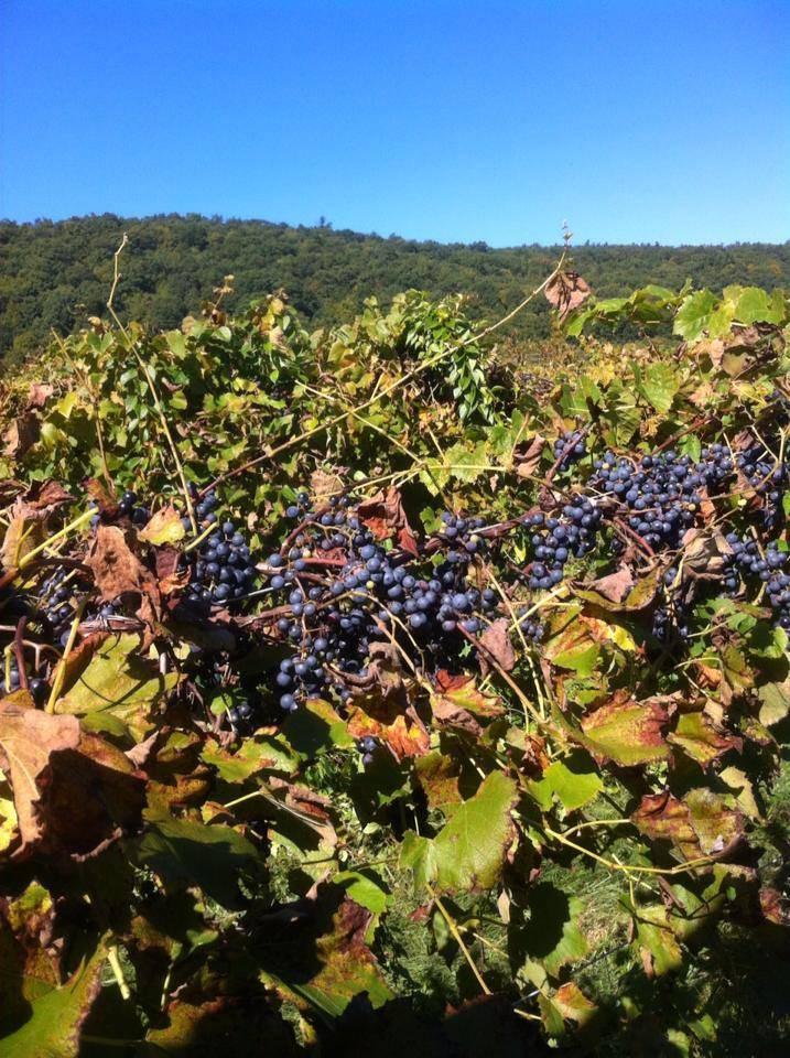 Frontenac Grapes in Amenia