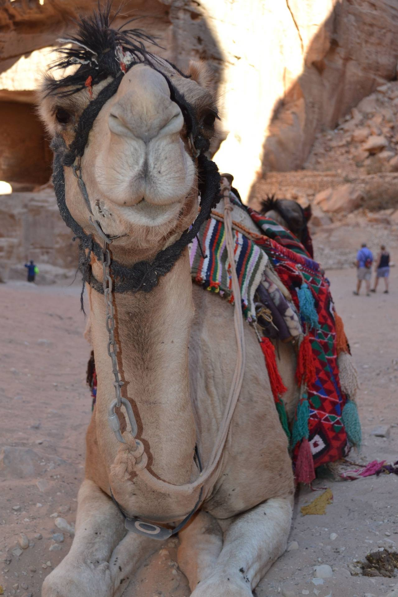 Camel Face 5