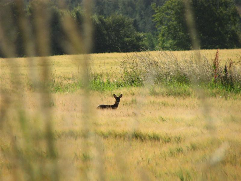 Roe doe in barley