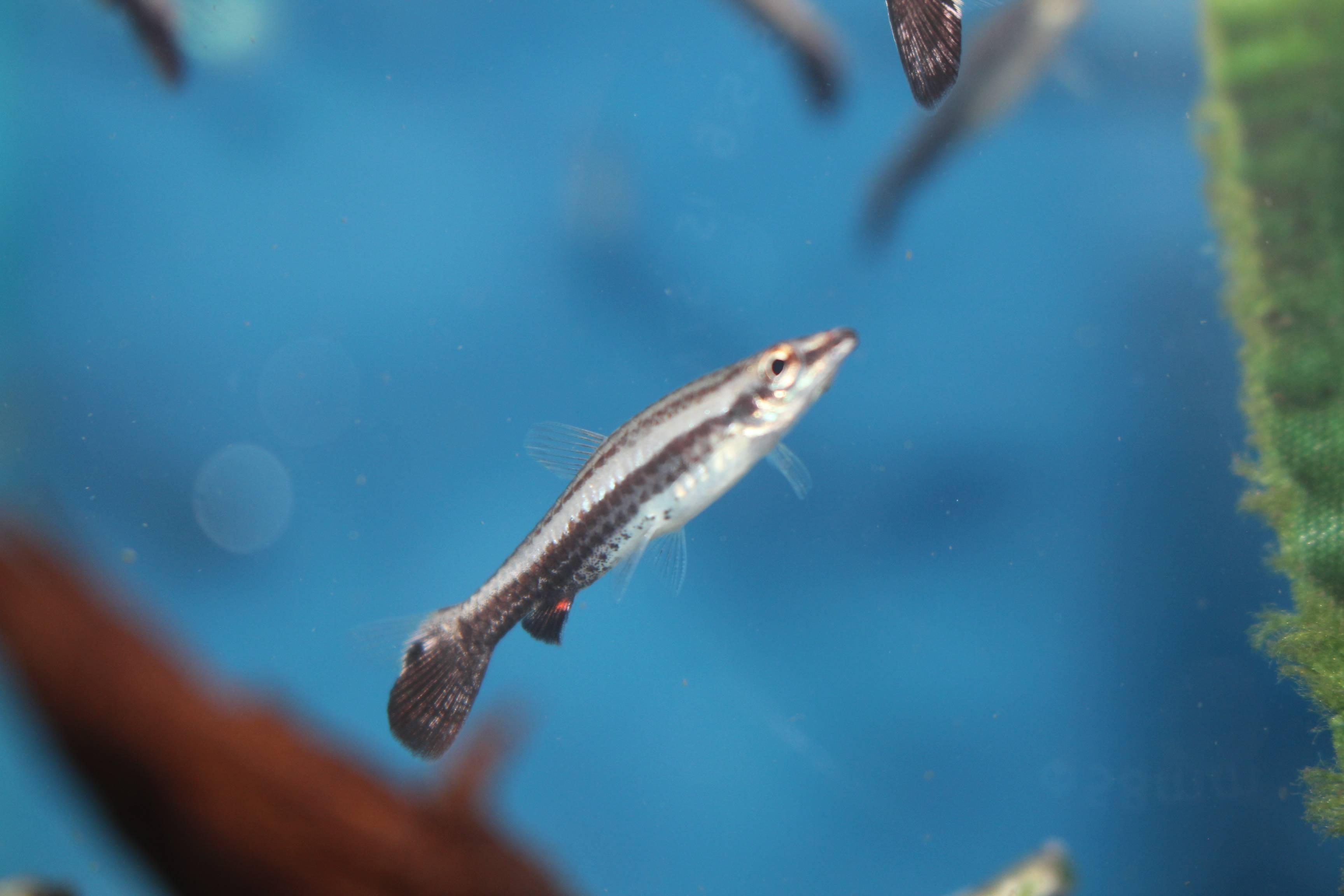 Eques Pencil Fish-$4