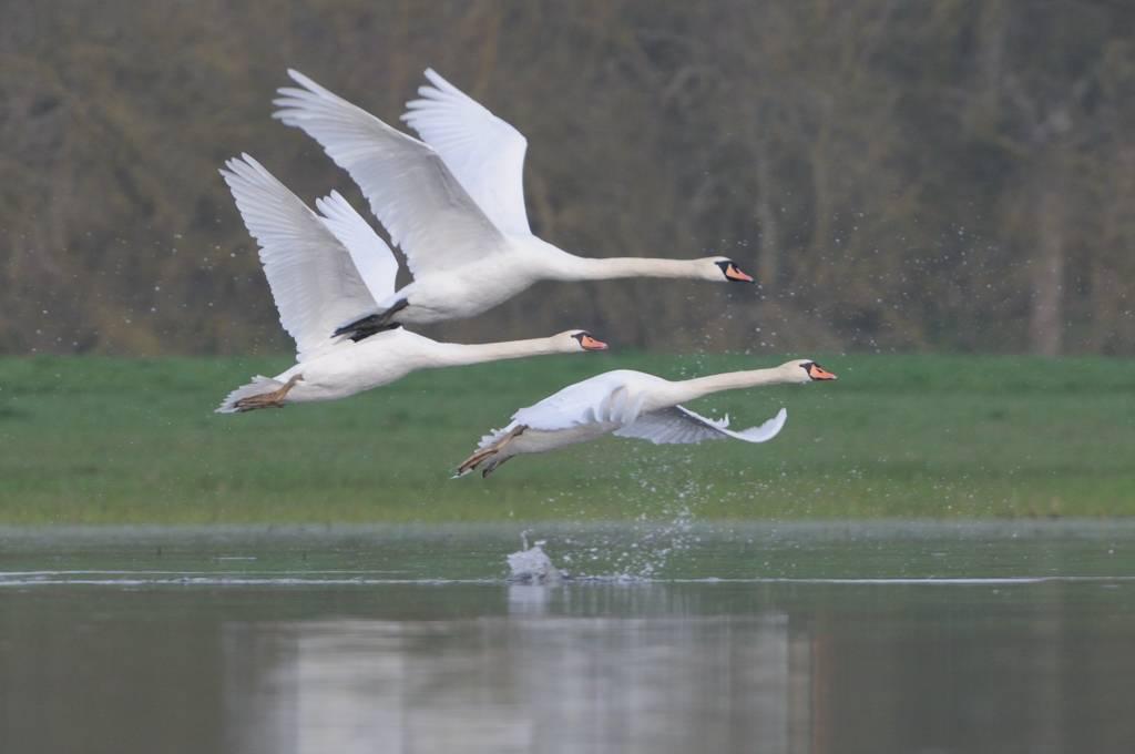 Vol de cygnes - Mute swans