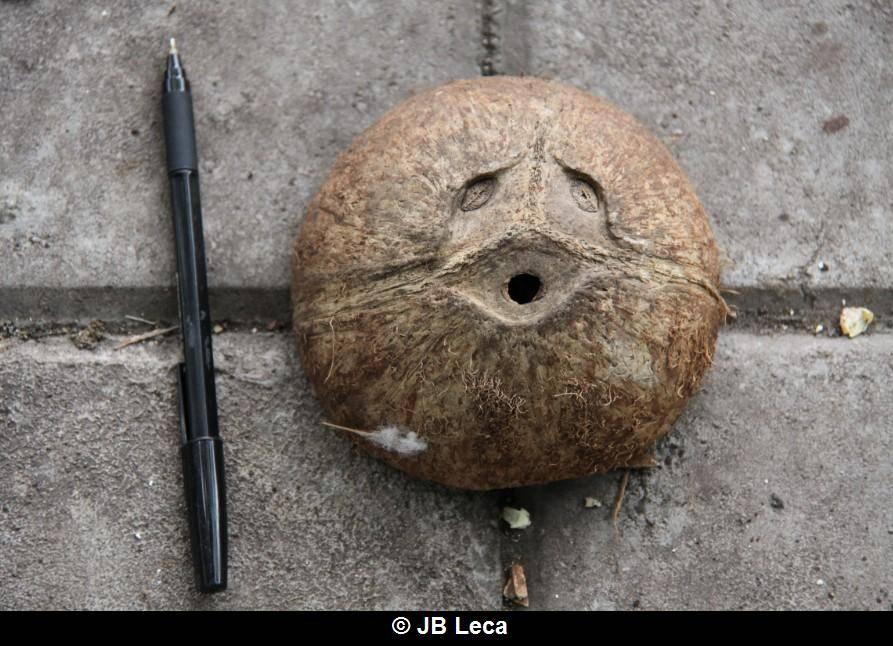 eye-covering play artefact: coconut shell (Pulaki)