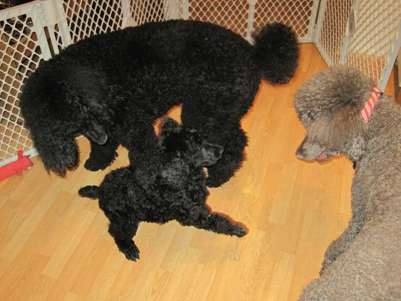 Playing with Penny and Pepper.  8 weeks old.
