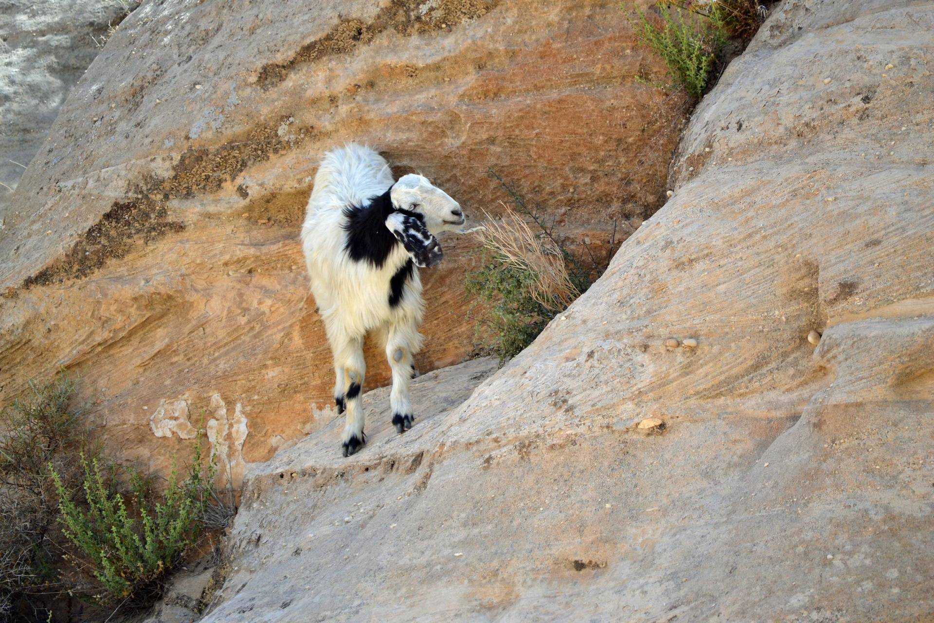 Speckled Goat