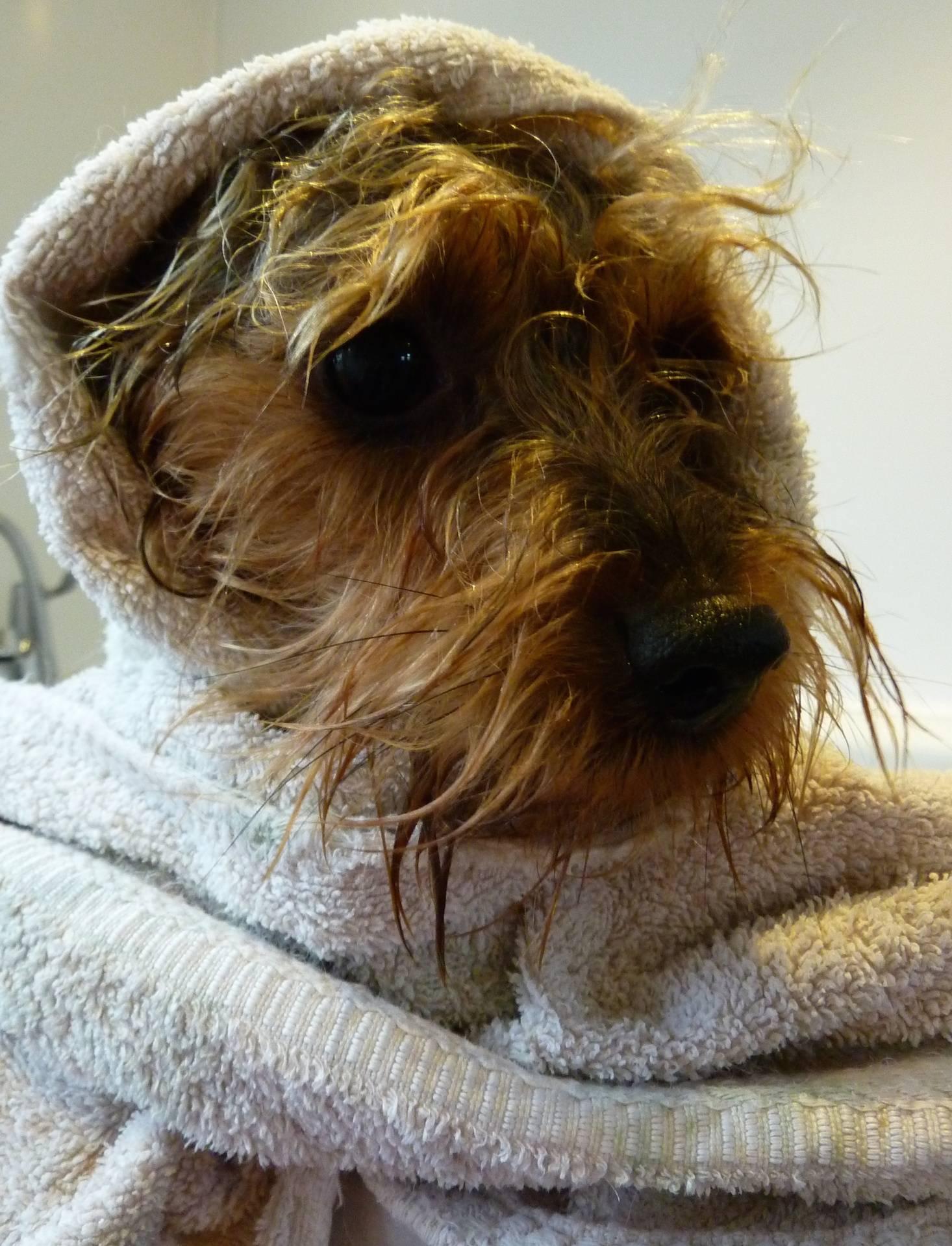 Alfie Waller - Yorkshire Terrier