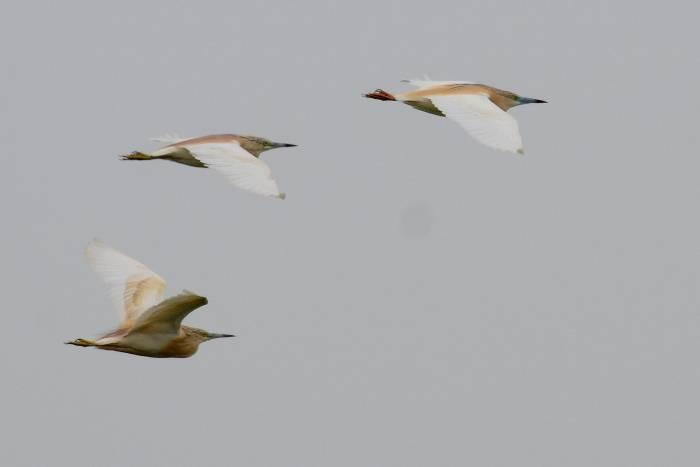Squacco Heron  -  HERON CRABIER