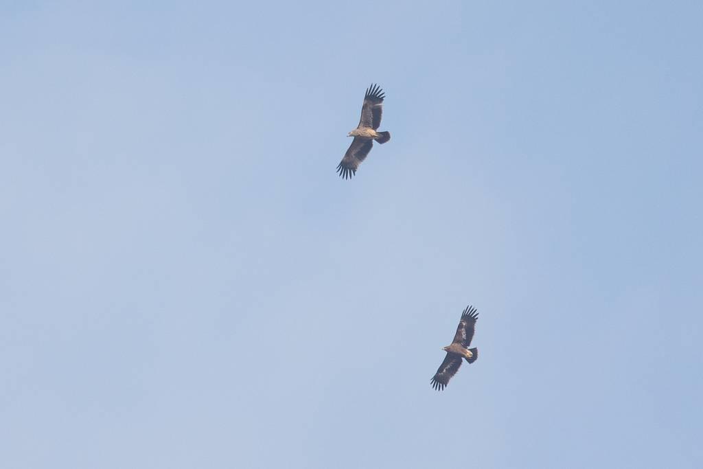 Eastern Imperial Eagle and Steppe Eagle