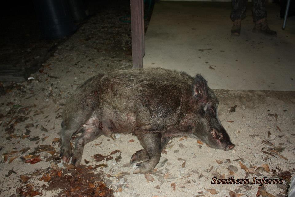 Rank old boar hog
