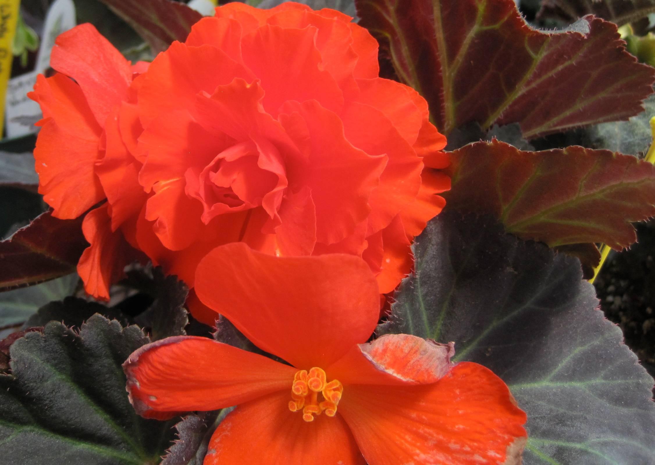 Brilliantly orange begonias