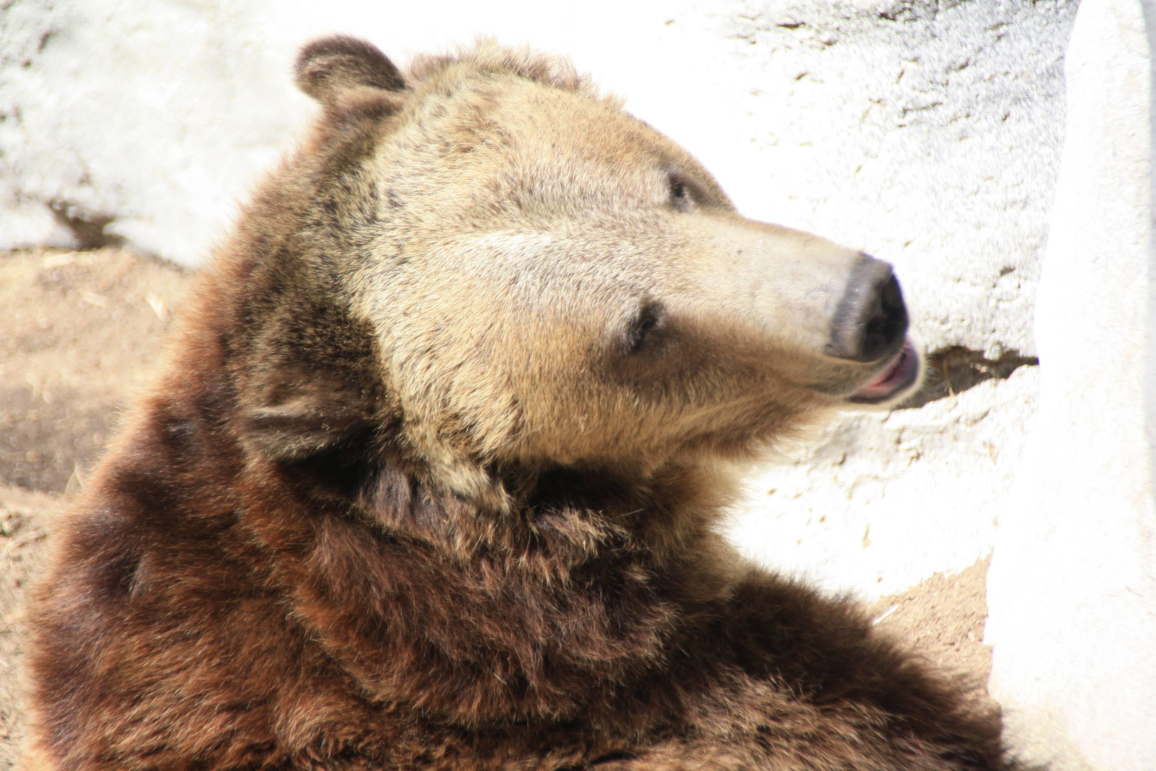 Bear at San Diego Zoo, San Diego CA
