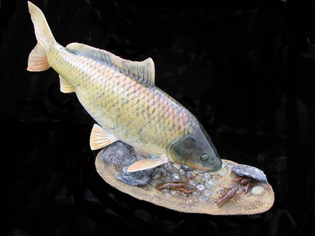 Common Carp with Crayfish