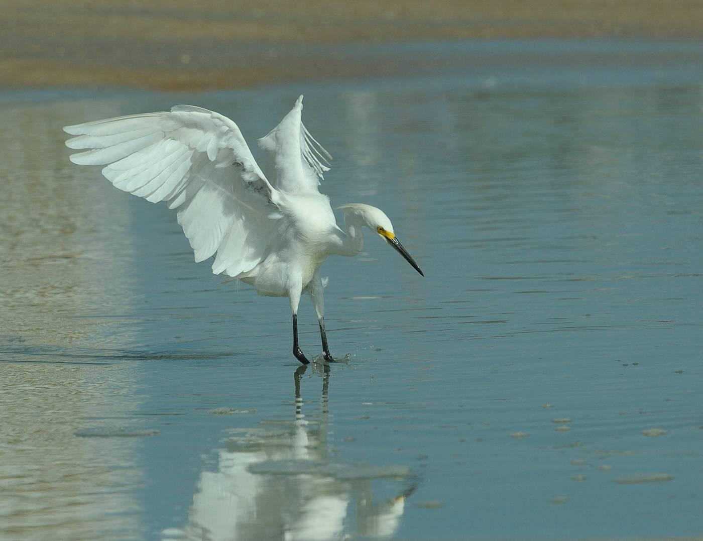 Aigrette neigeuse - Snowy egret  2