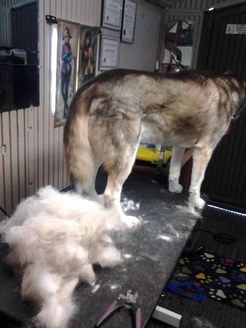 (Apollo)- Siberian Husky