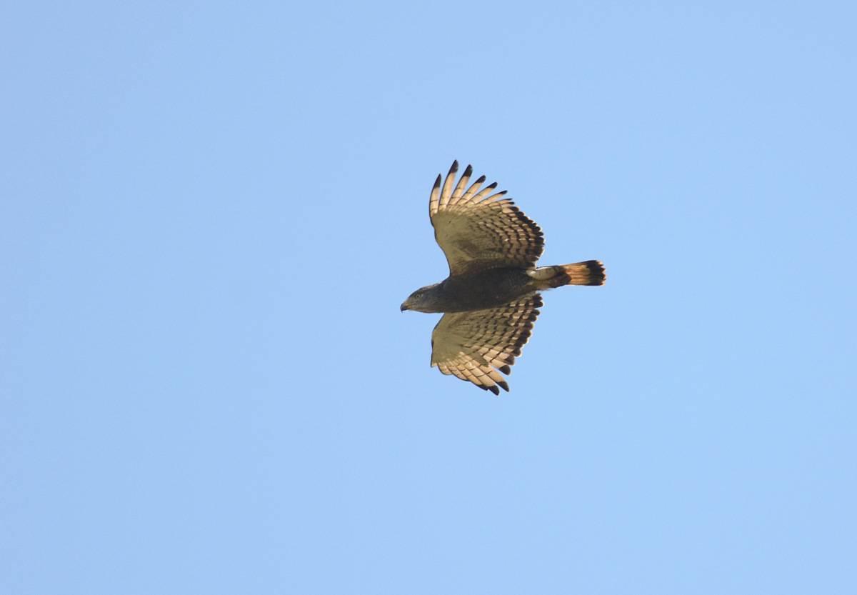 Western Banded Snake-Eagle