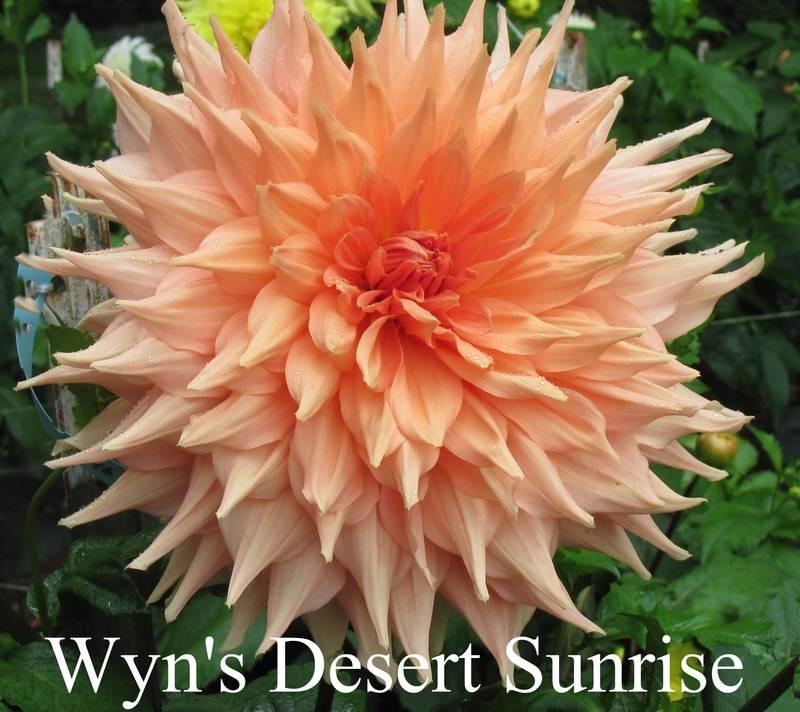 Wyn's Desert Sunrise AA SC Pink