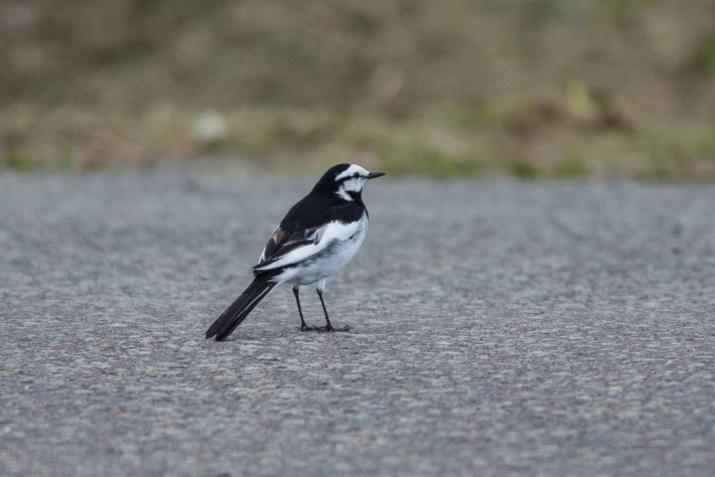 White Wagtail (lugens)