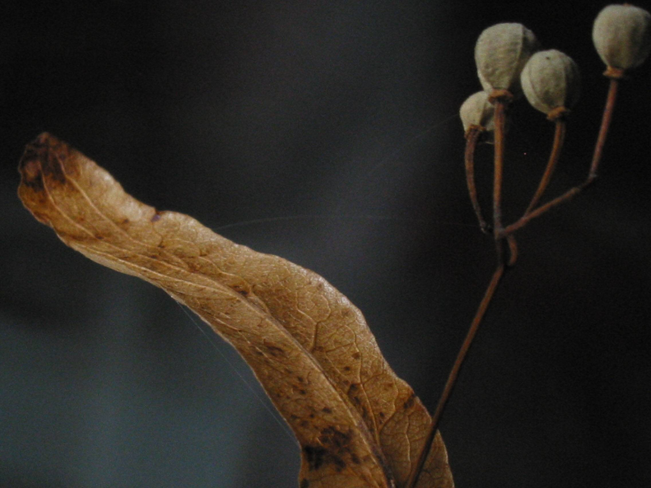 Basswood bract and seeds