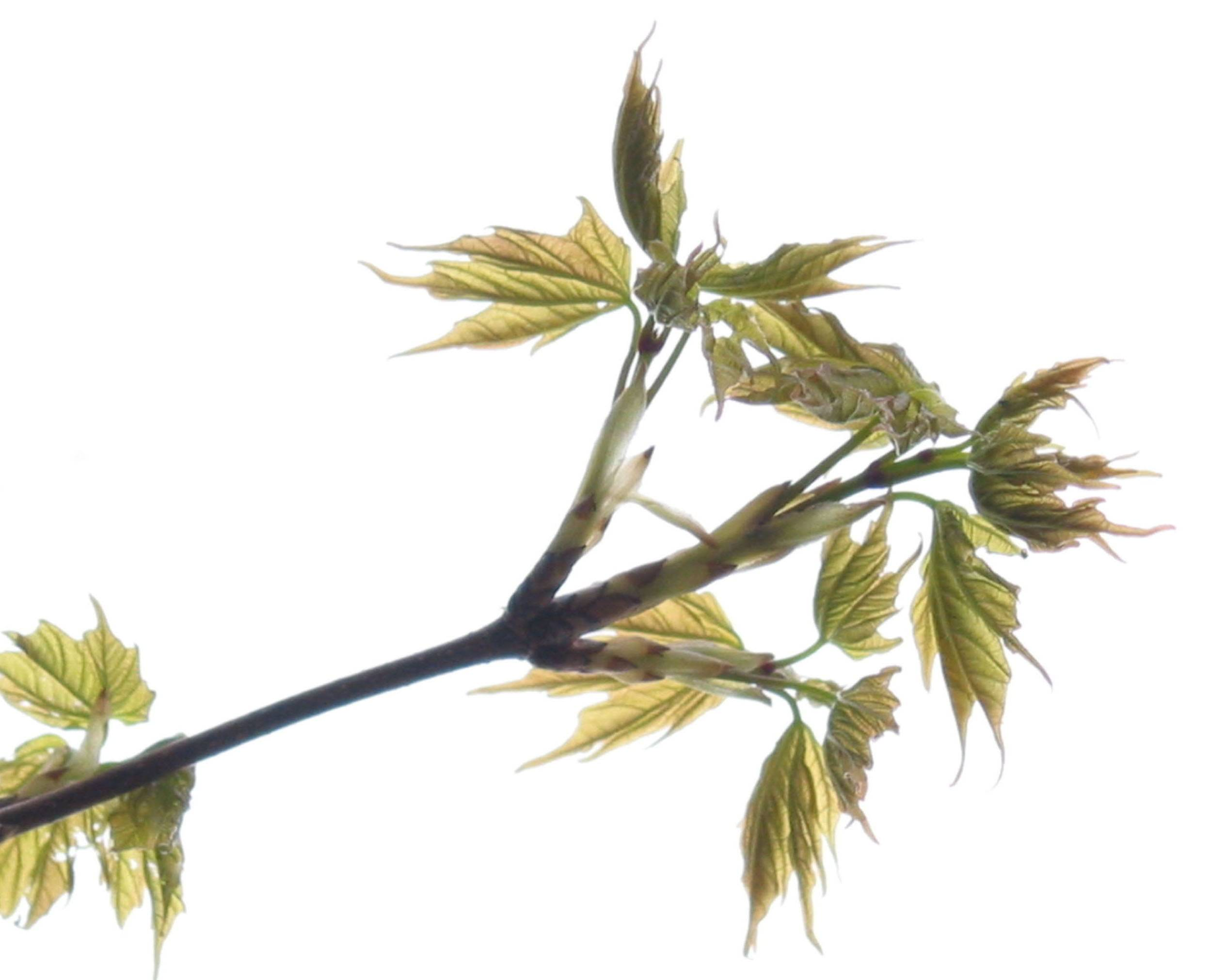 Baby sugar maple leaves