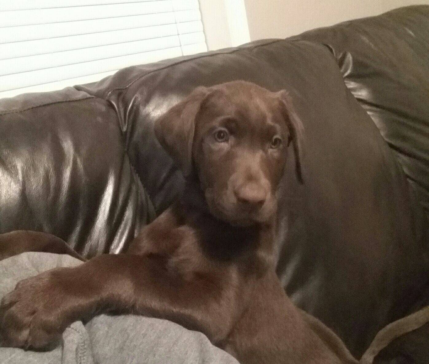 Atticus (Blue Collar Chocolate Male) at his new home