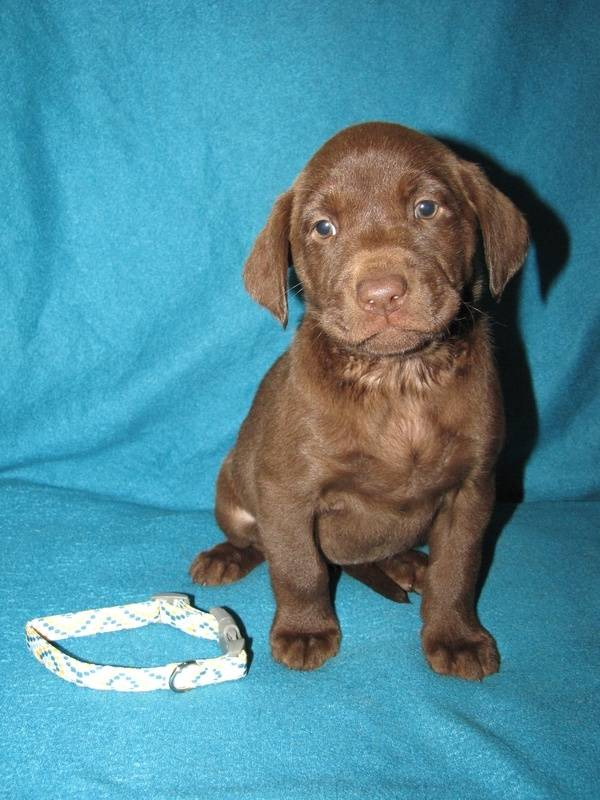 """6 Weeks Old - Yellow Collar Female """"Grace"""""""