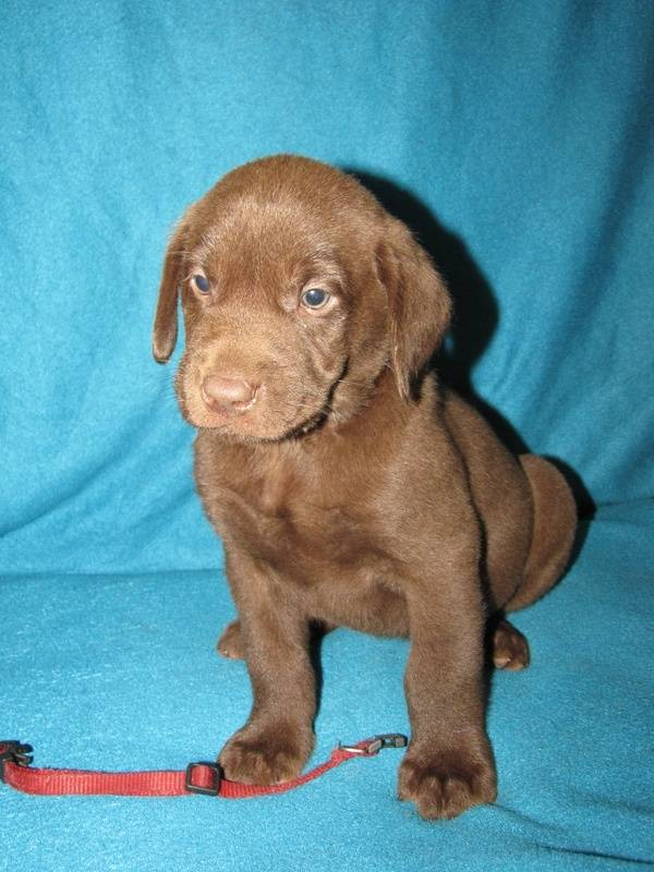 "6 Weeks Old - Red Collar Male ""Nitro"""