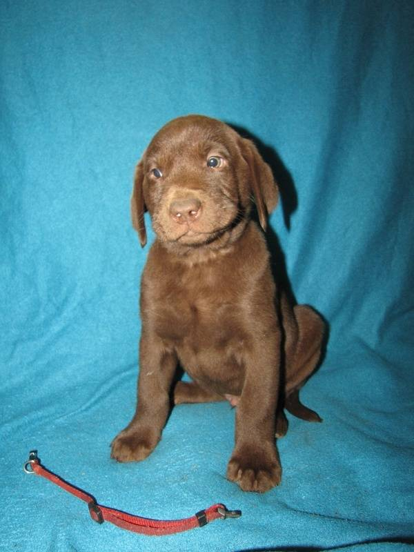 """7 Weeks Old - Red Collar Male """"Nitro"""""""