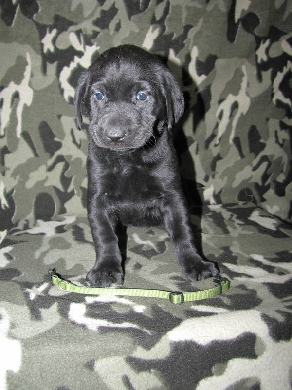 """5 Weeks Old - Green Collar Female """"Trixie"""""""