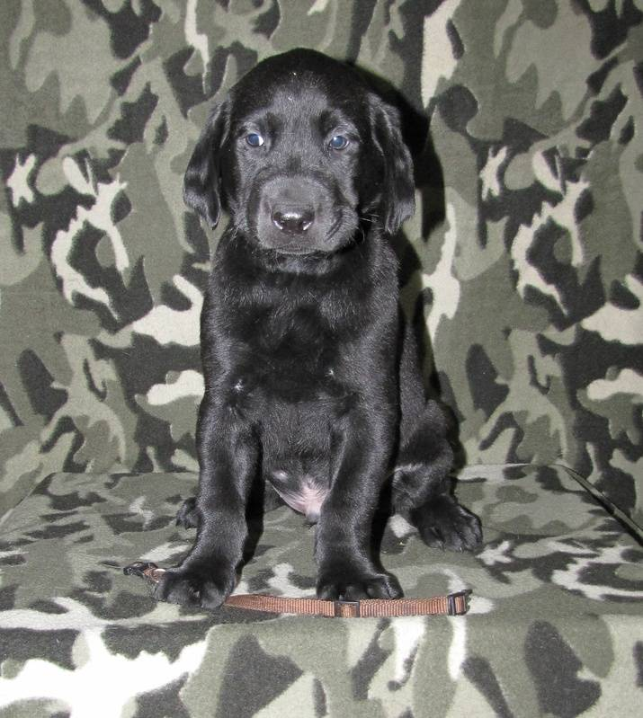 "6 Weeks Old - Brown Collar Male ""Remi"""