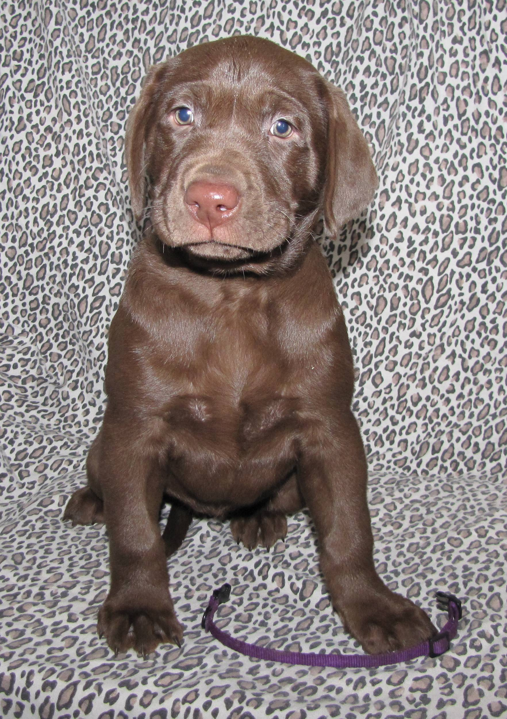 "7 Weeks Old - Purple Collar Female ""Scout"""
