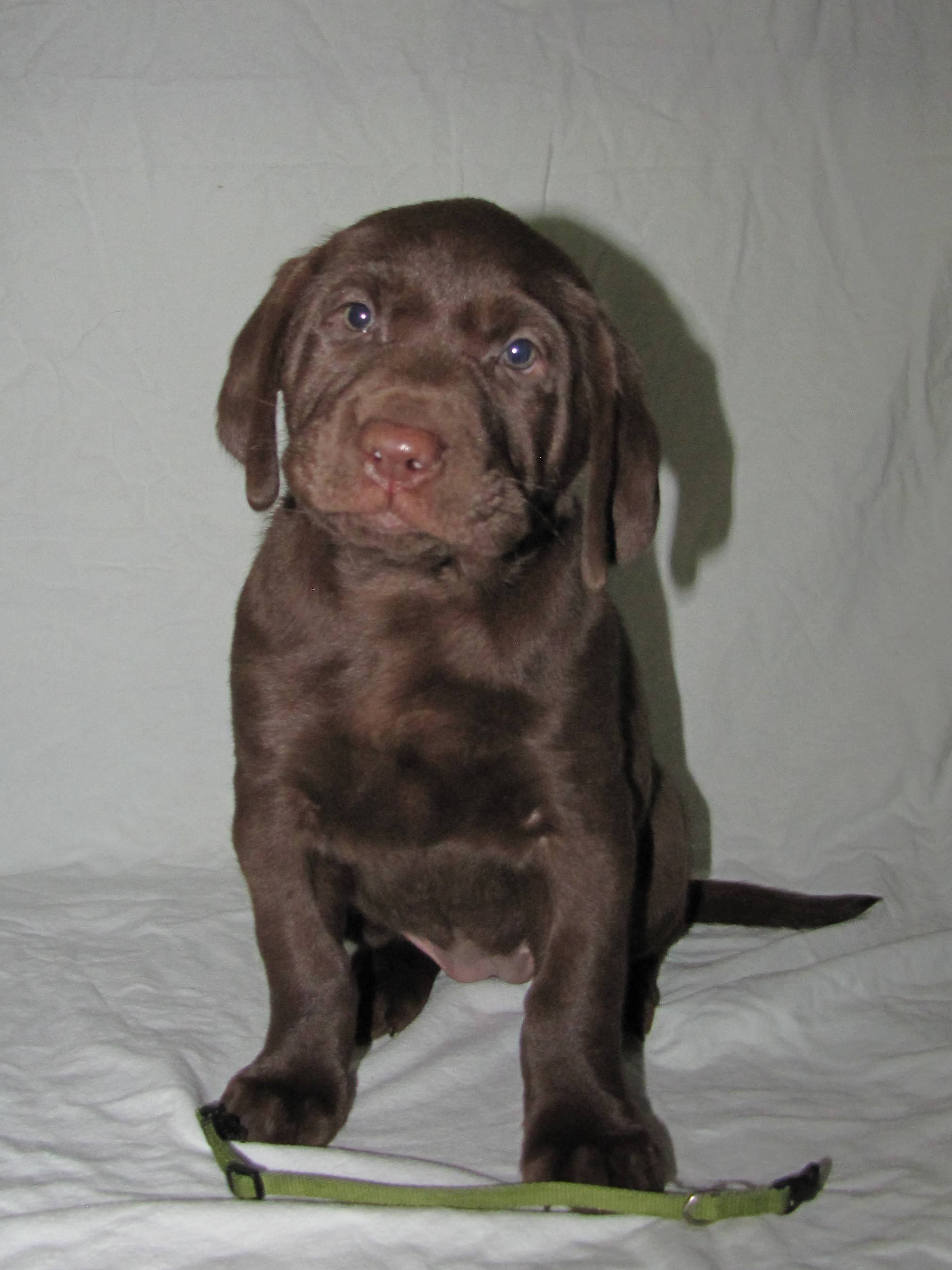 "6 Weeks Old - Green Collar Female ""Willow"""