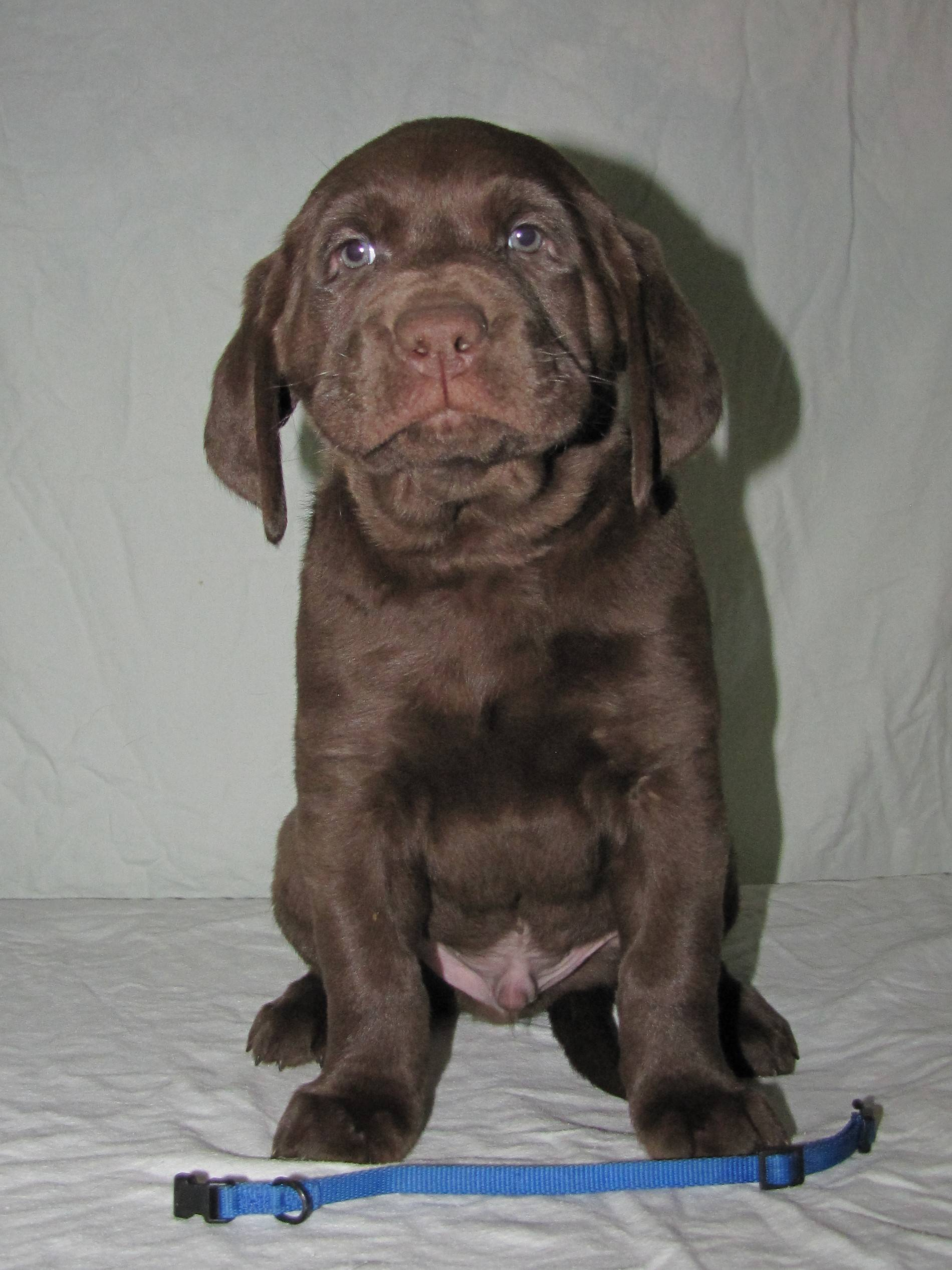 "6 Weeks Old - Blue Collar Male ""Gord"""