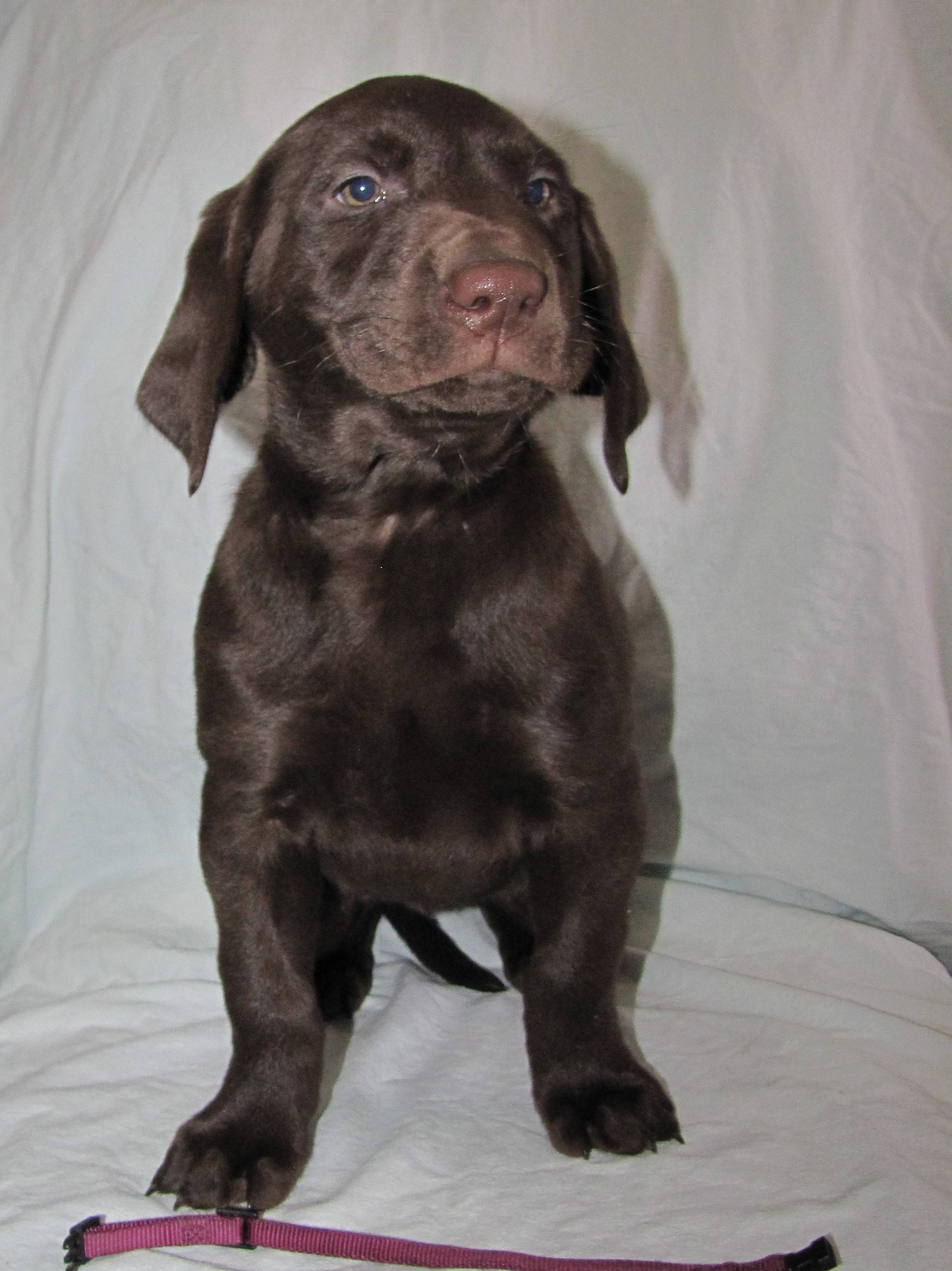 """7 Weeks Old - Pink Collar Female """"Roxy"""""""