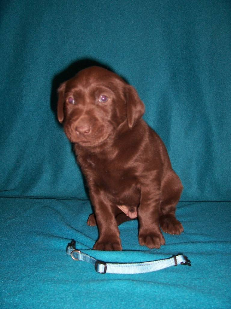 Blue Collar Male - 4 Weeks Old