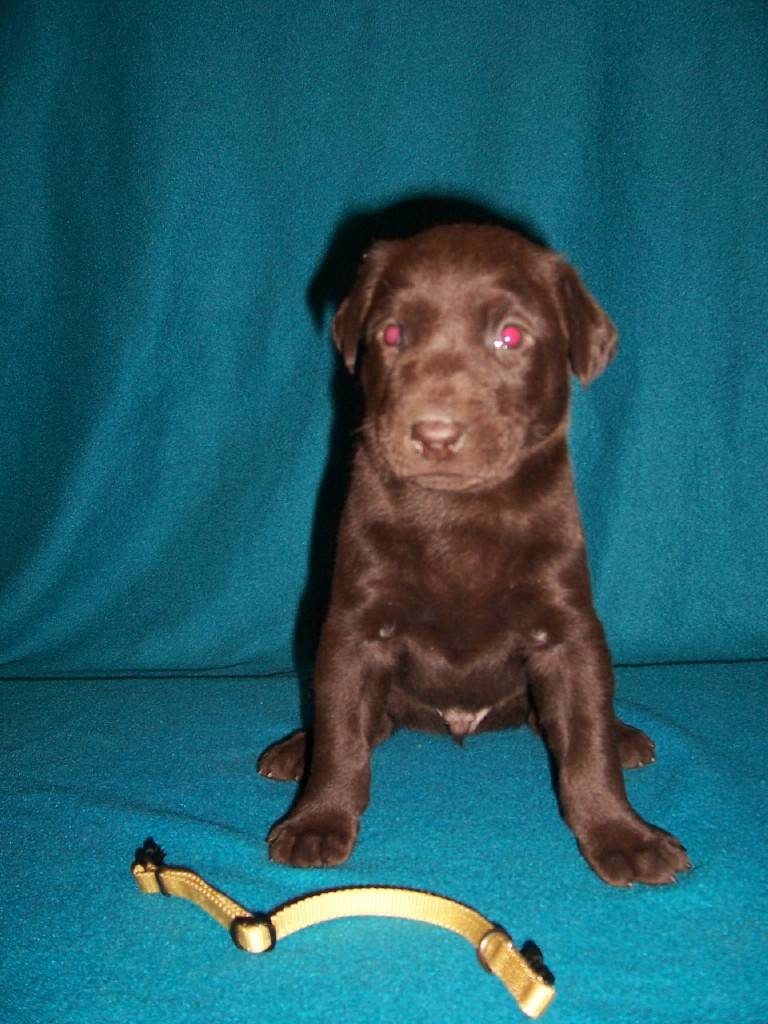 Yellow Collar Male - 4 Weeks Old