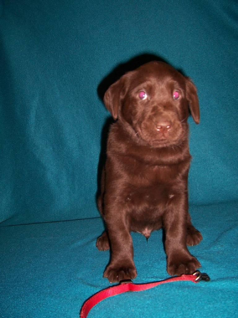 Red Collar Male - 5 Weeks Old