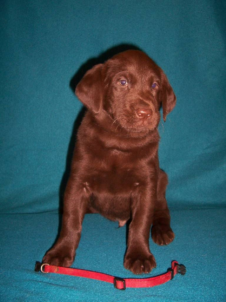 "Red Collar Male ""Baloo"" - 6 Weeks Old"