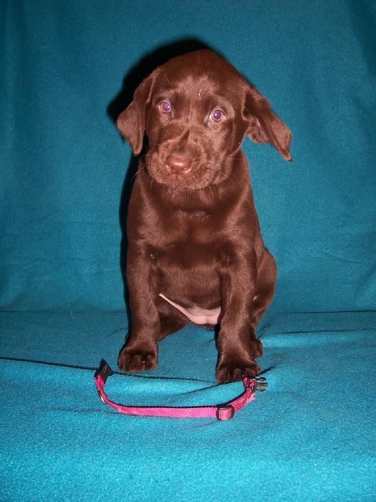 Pink Collar Female - 6 Weeks Old