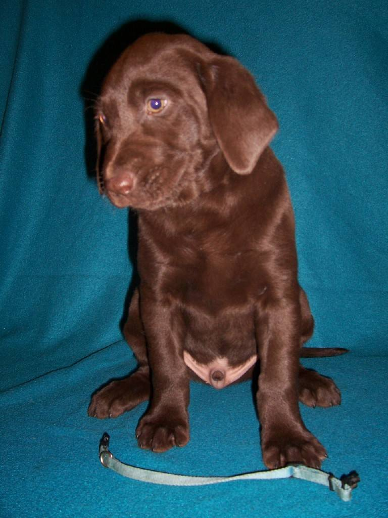 """Blue Collar Male """"Angler"""" - 7 Weeks Old"""