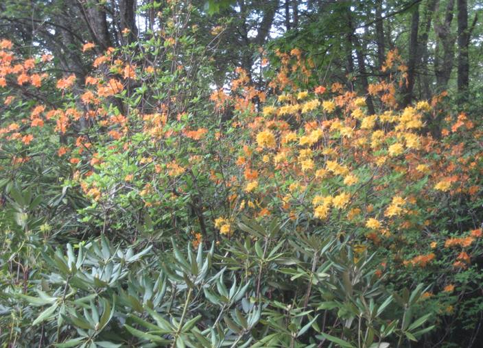 Flame azaleas and rhododendron